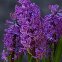 Hyacinthus Purple Sensation® 16/17 , à  50